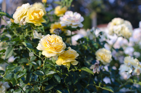 hanhgry.com | yellow roses in Santa Barbara Mission Rose Garden